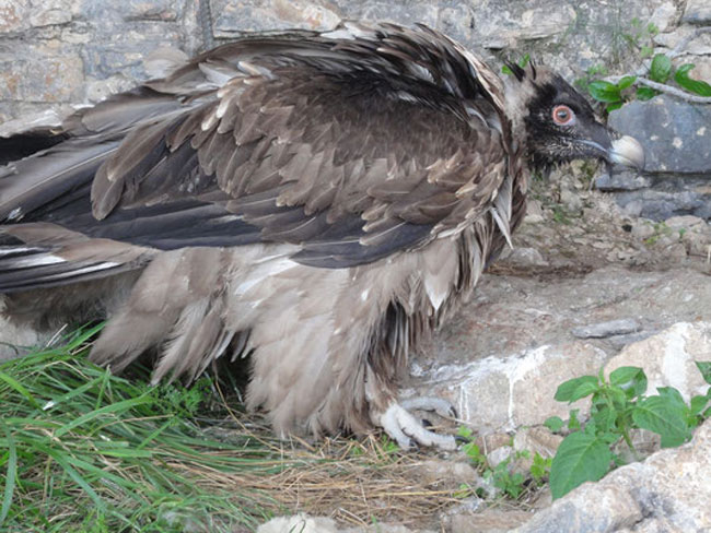 Vulture-1web