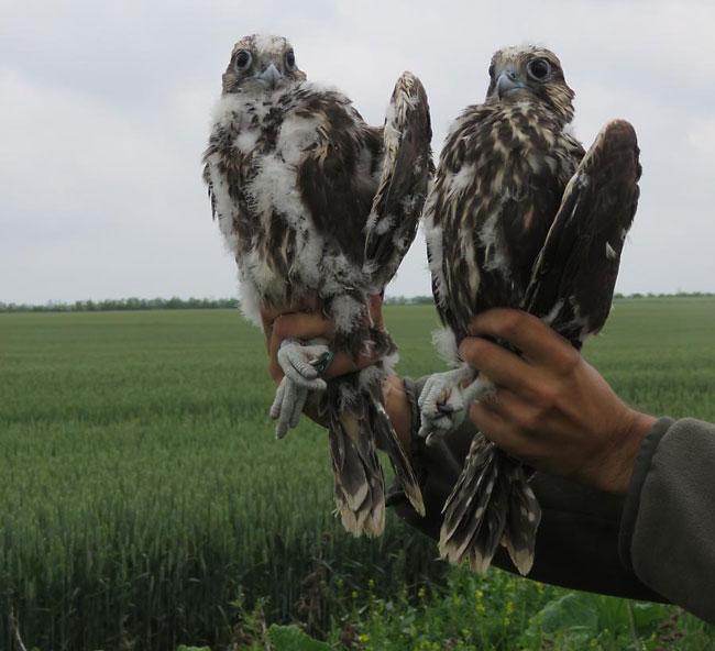 saker-Falcons-web