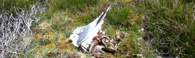 trapped_common_gull,_geallaig_hill_27-6-16__wide