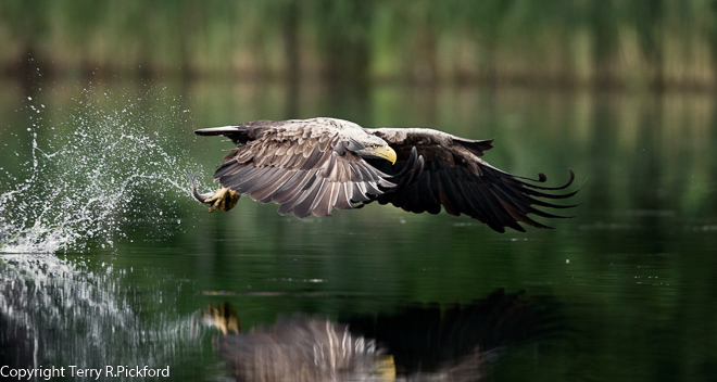 Female White Tailed Eagle Terry3