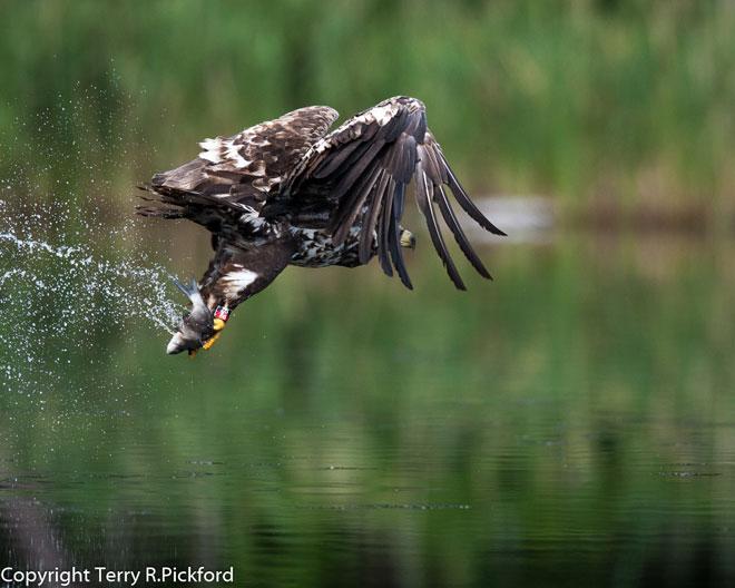 Female-White-Tailed-Eagle-w