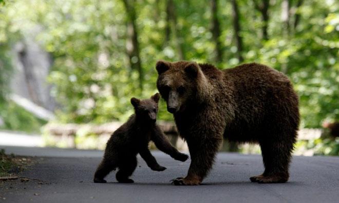 brown_bearsWEB