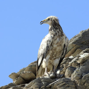 Egyption Vulture 2