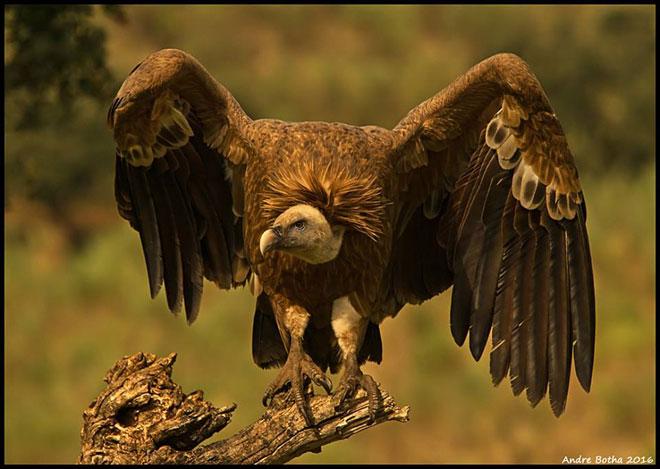 Vulture-web