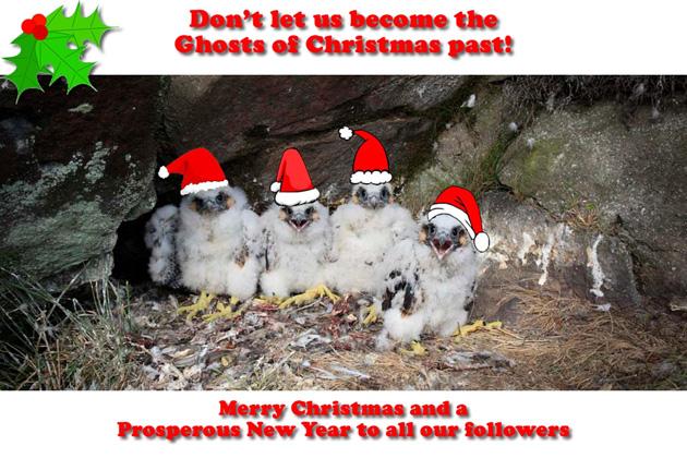 Peregrine-Twitter-Christmas