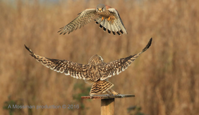 Short-Eared-Owl-Kestral-web