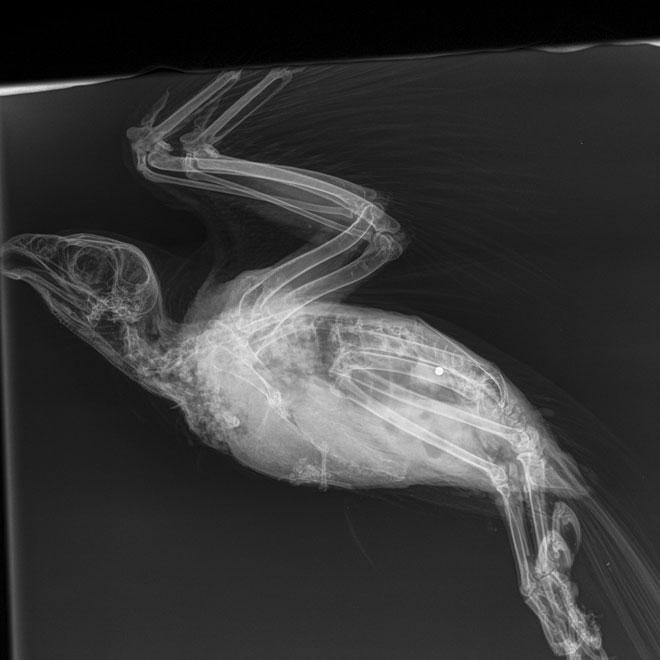 Peregrine-x-ray-1-web