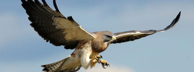 Swainsons-Hawk