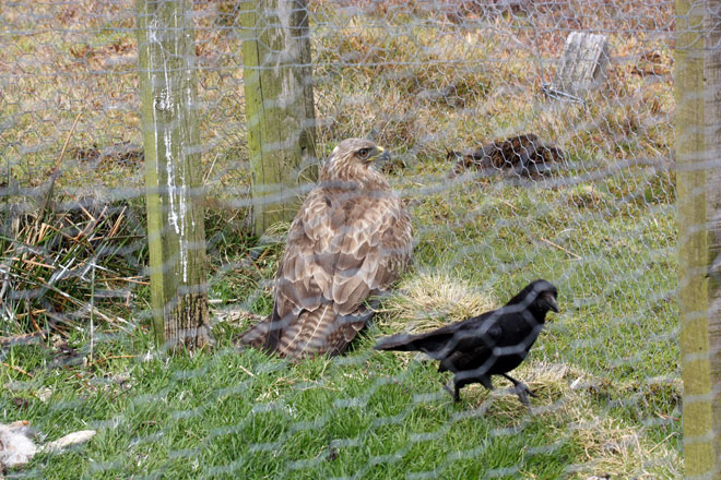 Buzzard-in-crow-trap