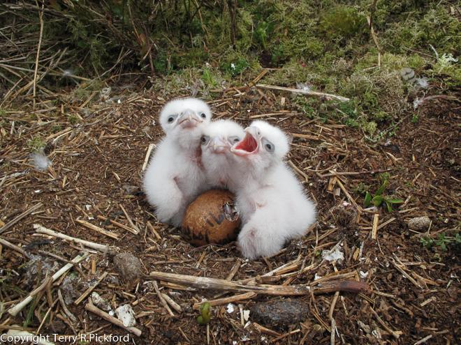 Peregrine Hatching