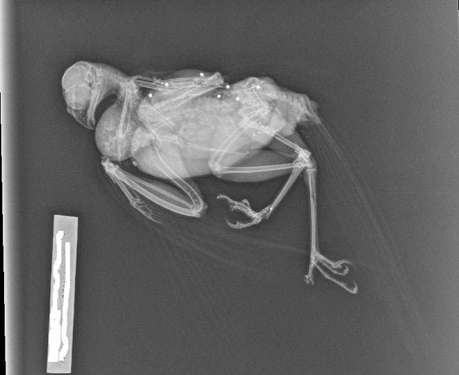 X-ray-of-shot-sparrowhawkwe