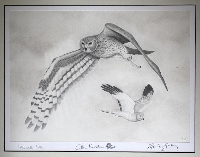 Hen-Harrier-Drawaing-Web