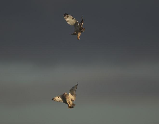 Short-eared-owl-01-web