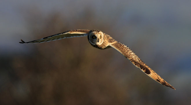 Short-eared-owl-02-web
