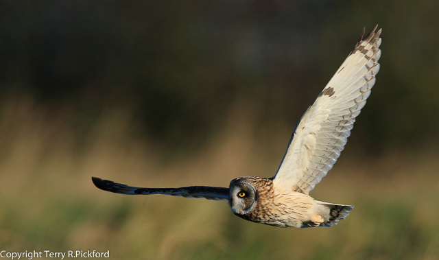 Short-eared owl-1