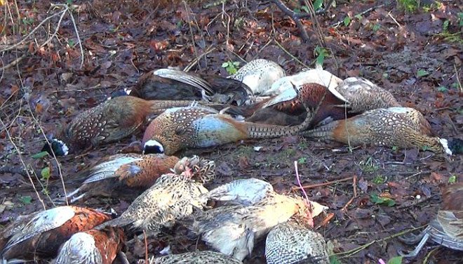 dead-pheasants-web