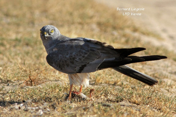 Male Montagues Harrier