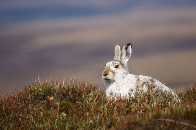 Mountain-Hare-web