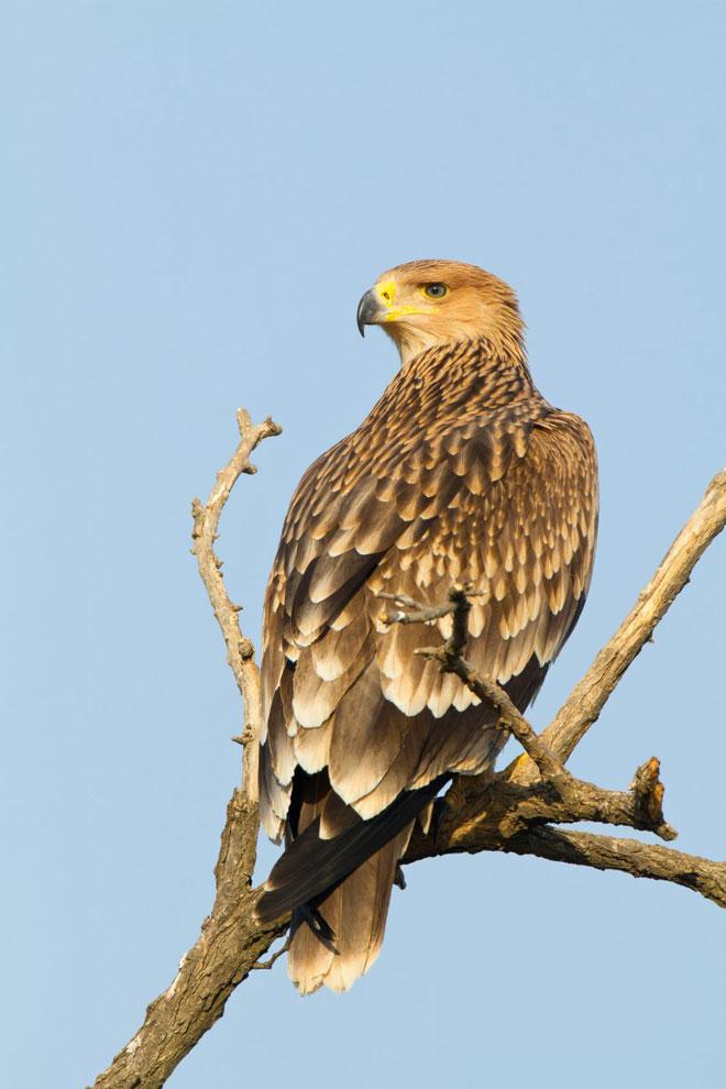 Eagle-in-tree-web