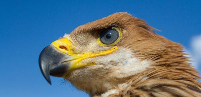 Eastern-Imperial-Eagle-web