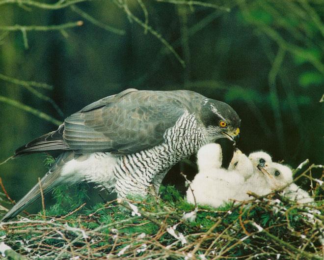 Goshawk-nest-web