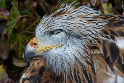 Poisoned Red Kite