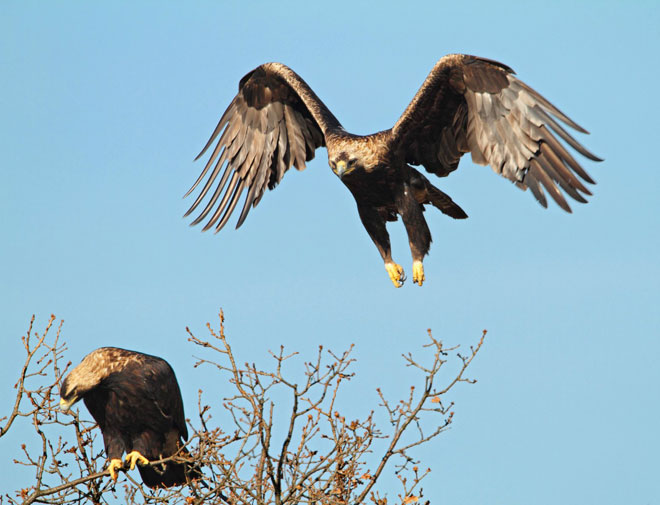 Two-eagles-in-tree-web
