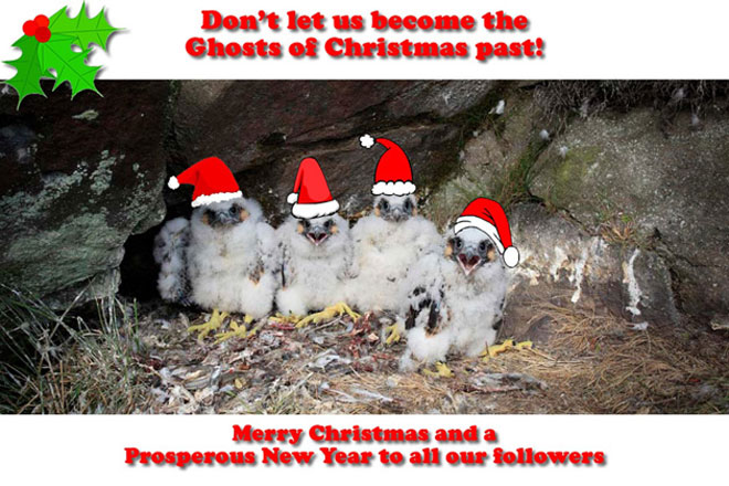 Peregrine-ChristmasGreeting