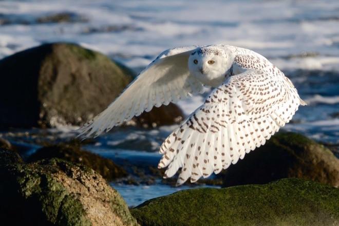 Snowy-Owl_660x440 Rye