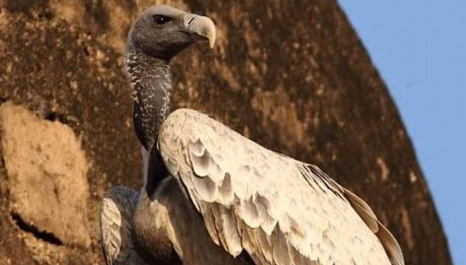 long-billed-vulture-01web