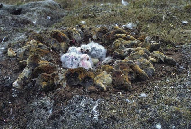 owl_lemmings_chicksweb
