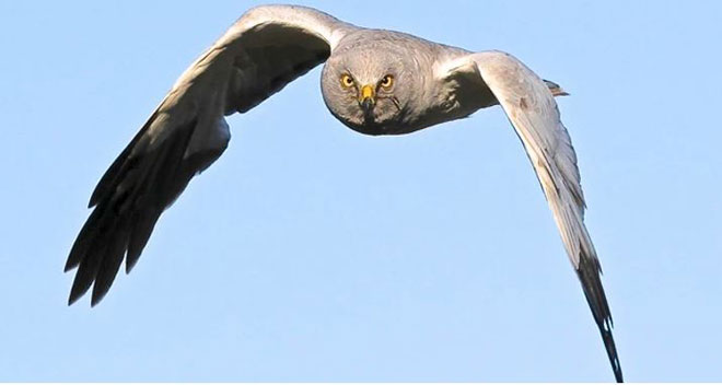 Hen-Harrier1web