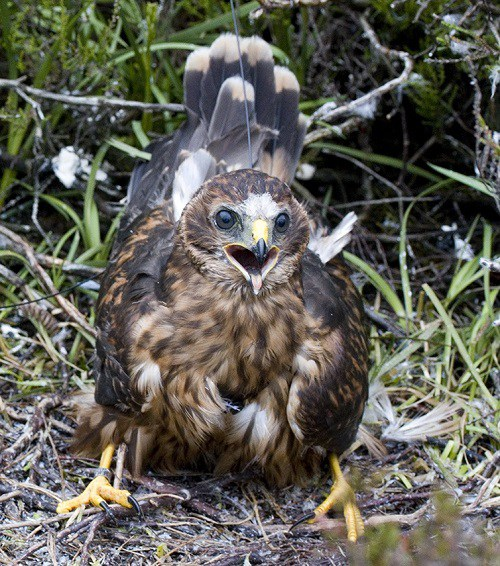 Missing-hen-harrier-Marc