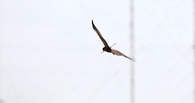 marsh-harrier-web