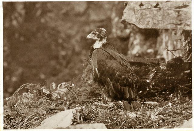 Golden Eagle 04