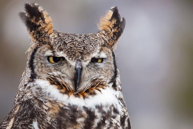 Grat-horned-owl-web