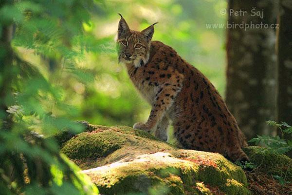 Lynx-CZweb