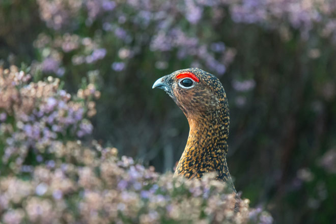 Red-Grouse-web