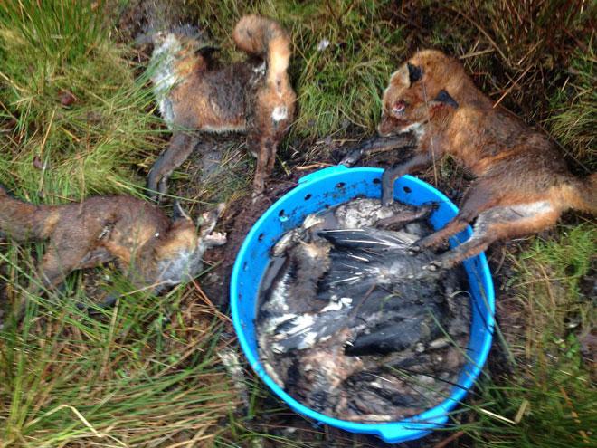 3-fox-stink-pit