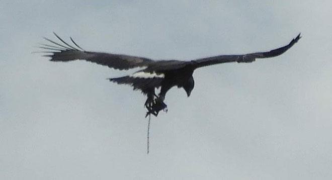Eagletrappedweb