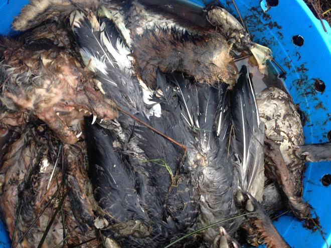 Fox-Pheasant-stink-pit