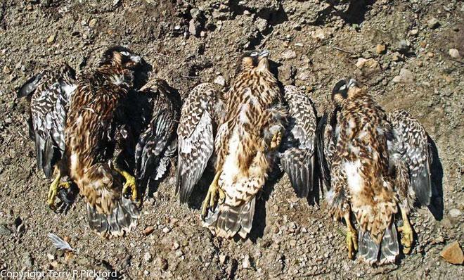 Shot-Peregrine-Falcons